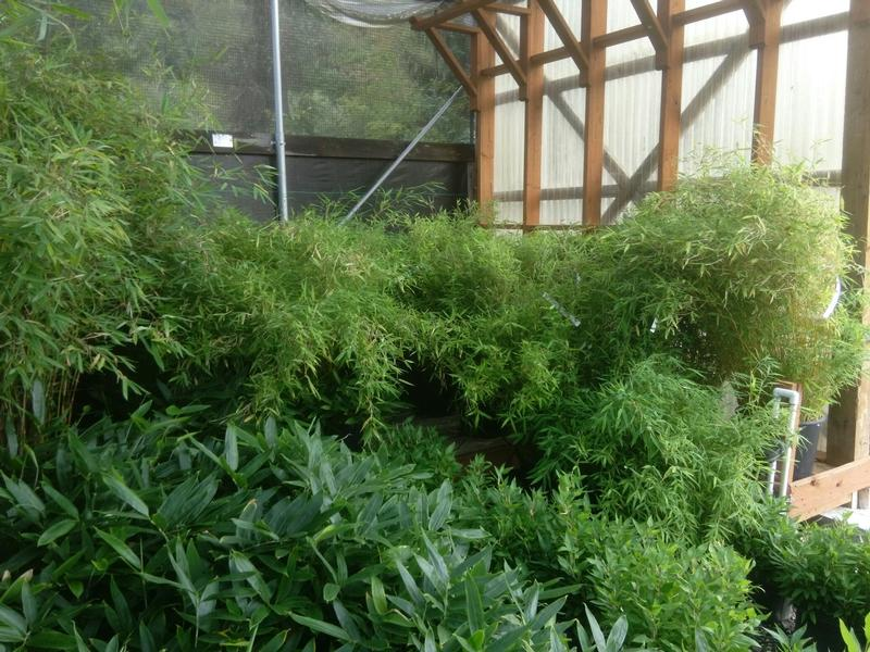 Dwarf and Shrub Bamboo